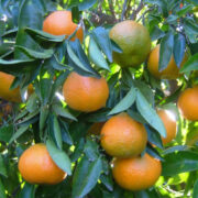 citricos masso